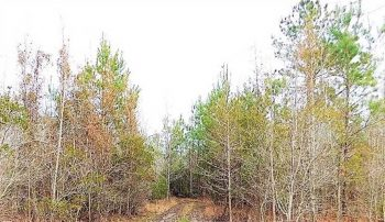 27.21 Acres Near Lake Marion in Clarendon County With Outstanding Deer Hunting!